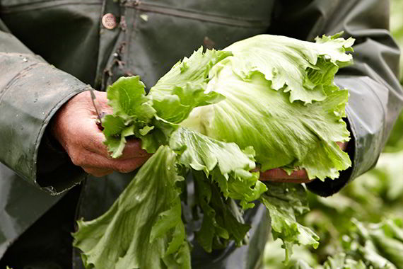 A man cultivating lettuce
