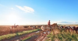 Rancher on a horse moving cows across a field