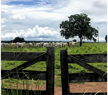 Cows behind a fence